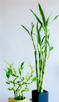 "LUCKY BAMBOO STALK SIZE: 18"" straight"