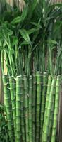 "LUCKY BAMBOO STALK SIZE: 36"" straight (*Temporarily out of stock*)"