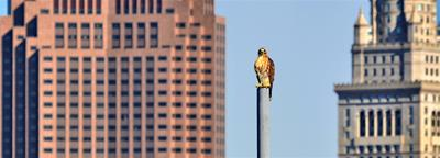 Downtown Red-tailed Hawk