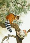 Texas Ringtail Possum