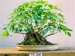 Dwarf Schefflera Bonsai 12 to 15 year old