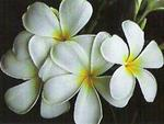 Singapore Plumeria-Potted & Rooted