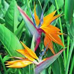 Bird of Paradise Seedling