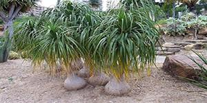 "BEAUCARNIA Recurvata ""Pony Tail Palm"""
