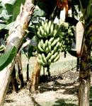 "BANANA RHIZOME: Musa ""Grand Nain"""