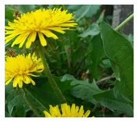 Dandelion Leaf Powder 1 lb