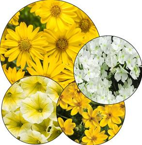 Joyces Choice 2 Yellow and white annual hanging basket