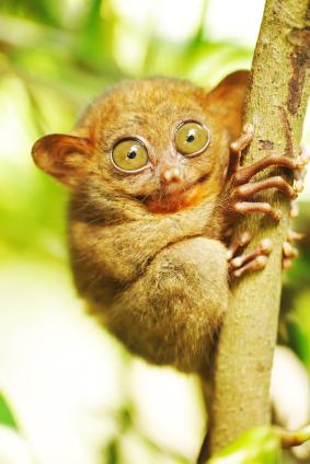 Tarsier Monkey
