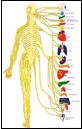 The Nerve System