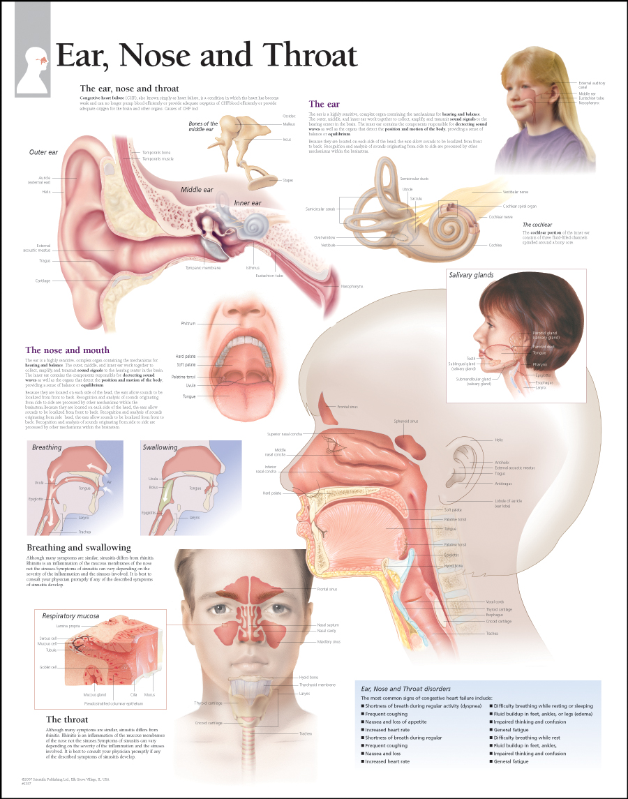 Anatomy Of The Ear Nose And Throat 76