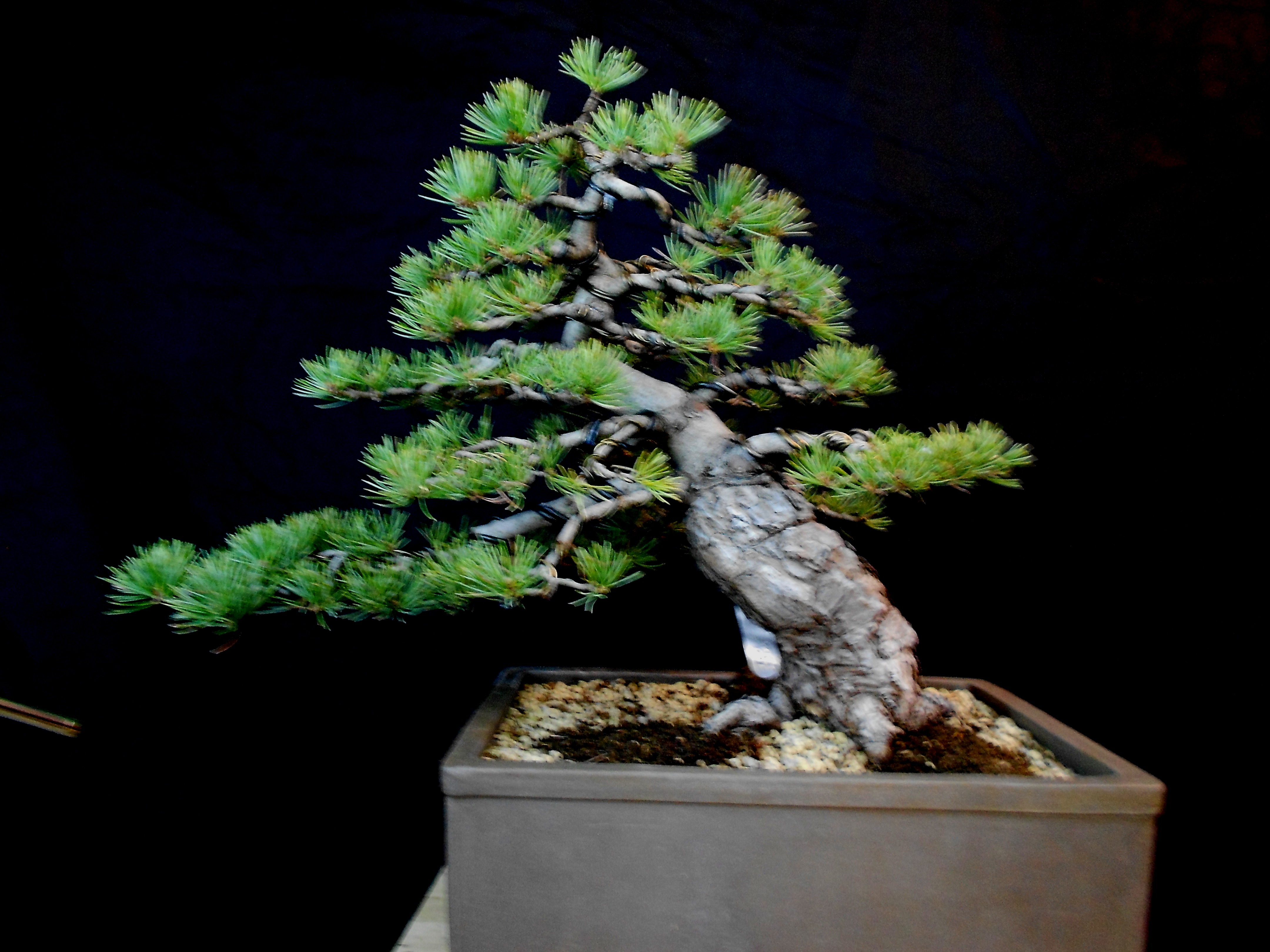 Japanese White Pine (Pinus Parviflora) - Bonsai by Fields, LLC