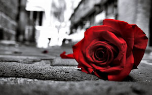 A rose on the street